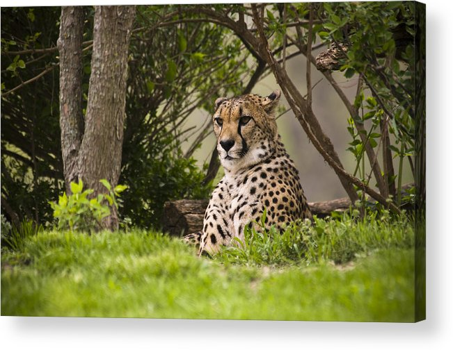 Chad Davis Acrylic Print featuring the photograph Cheetah Of The Hill by Chad Davis