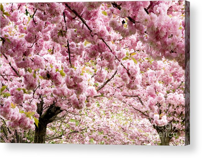 Landscape Acrylic Print featuring the photograph Cherry Blossoms In Milan Italy by Julia Hiebaum