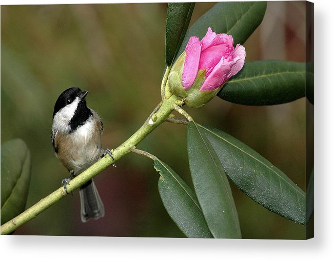 Bird Acrylic Print featuring the photograph Chickadee By Rhododendron Bud by Alan Lenk