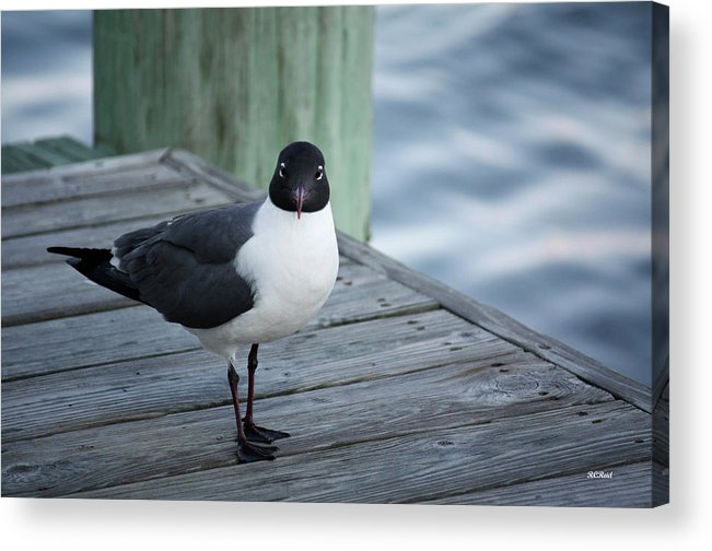 Maryland Acrylic Print featuring the photograph Chincoteague Island - Great Black-headed Gull by Ronald Reid