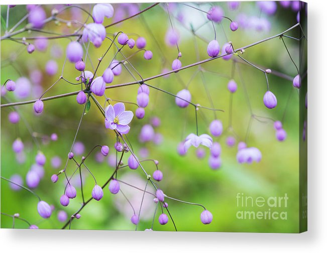 Chinese Meadow Rue Acrylic Print featuring the photograph Chinese Meadow Rue Flowers Opening by Tim Gainey
