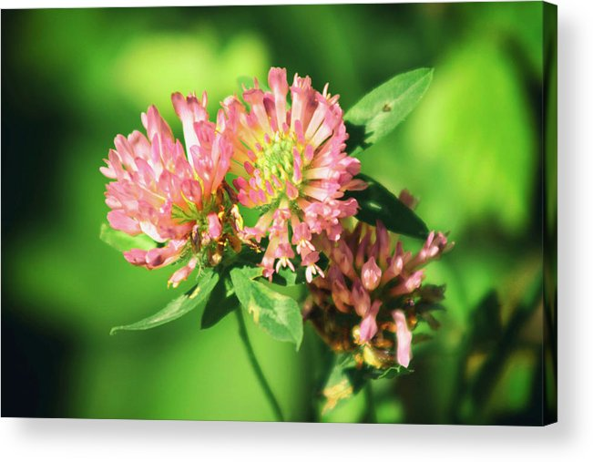 Flowers Acrylic Print featuring the photograph Chives by Frances Lewis