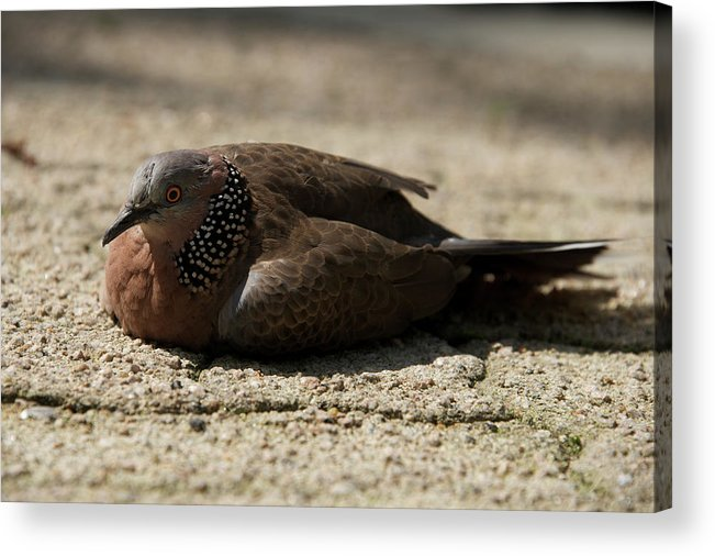 Hong Kong Acrylic Print featuring the photograph Close-up Of Mottled Pigeon On Sandy Ground by Ndp