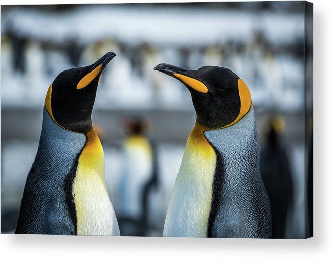 Aptenodytes Patagonicus Acrylic Print featuring the photograph Close-up Of Two King Penguins In Colony by Ndp