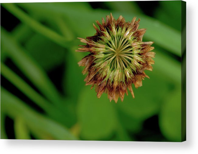 Clover Acrylic Print featuring the photograph Clover Past Due by Grant Groberg