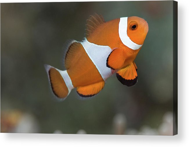 Horizontal Acrylic Print featuring the photograph Clown Anemonefish (amphiprion Ocellaris) by Steven Trainoff Ph.D.