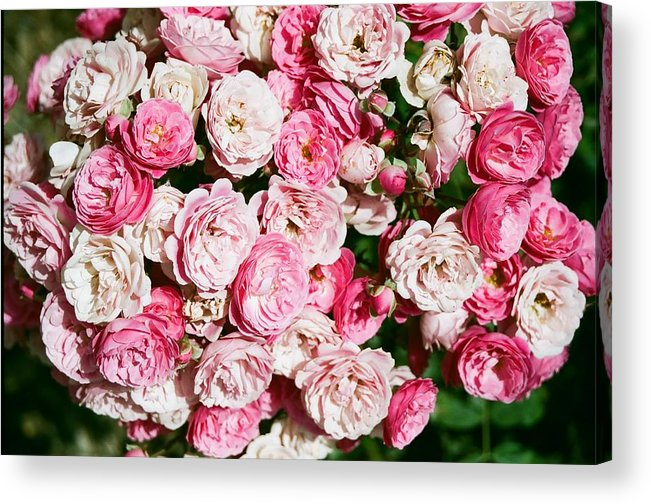 Rose Acrylic Print featuring the photograph Cluster Of Roses by Dean Triolo