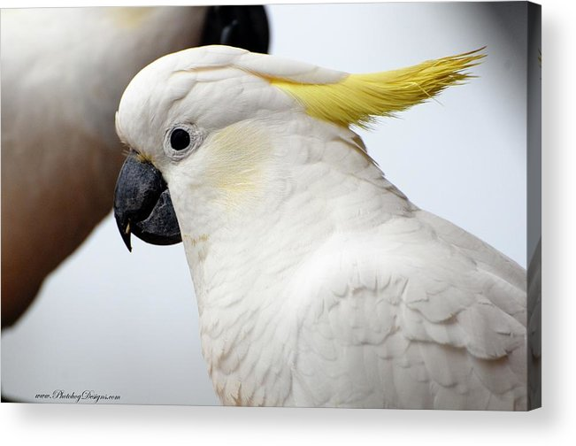 Cockatoo Acrylic Print featuring the photograph Cockatoo 3237 by PhotohogDesigns