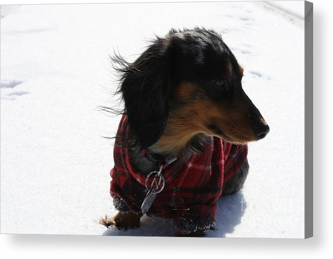 Dog Acrylic Print featuring the photograph Cold Breeze by Sherry Klander