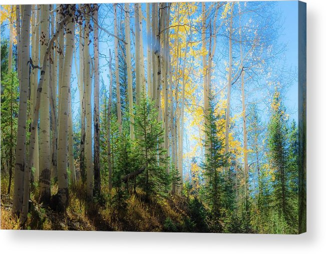 Autumn Colors Acrylic Print featuring the photograph Colorado Aspens by Gayne Dorio