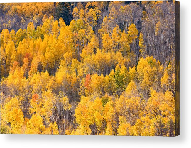 Trees Acrylic Print featuring the photograph Colorado High Country Autumn Colors by James BO Insogna