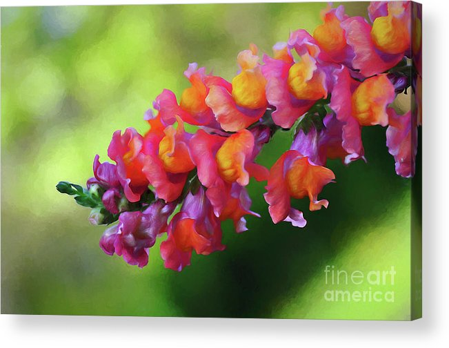 Colorful Snapdragon Acrylic Print featuring the photograph Colorful Snapdragon by Kaye Menner