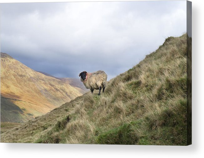 Sheep Acrylic Print featuring the photograph Connemara Sheep by Deborah Squires