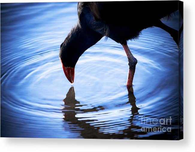 Wildlife Acrylic Print featuring the photograph Coot Pond Droplet by Jorgo Photography - Wall Art Gallery