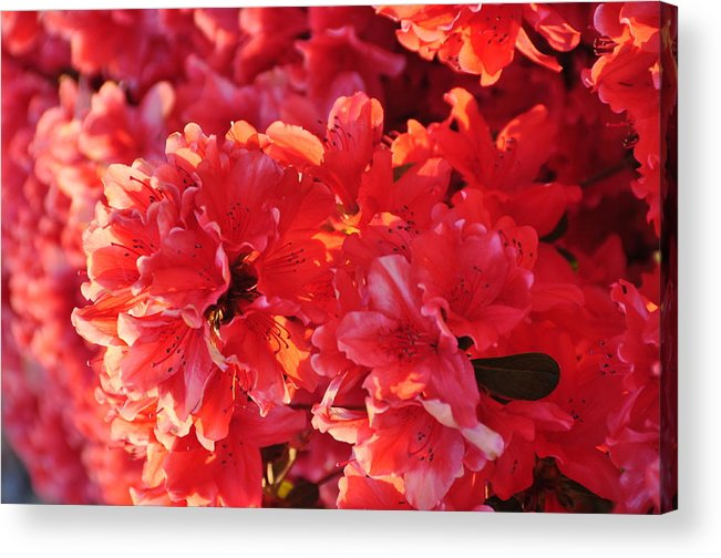 Floral Acrylic Print featuring the photograph Coral Pink Azaleas by Jan Amiss Photography