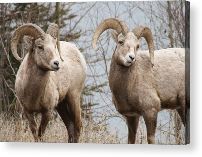 Bighorn Sheep Acrylic Print featuring the photograph Couple Of Rams- Banff National Park by Tiffany Vest