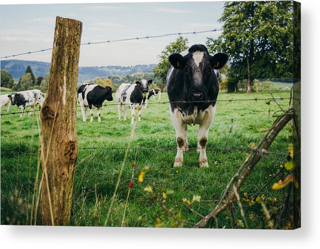 Black Acrylic Print featuring the photograph Cow Herd by Pati Photography