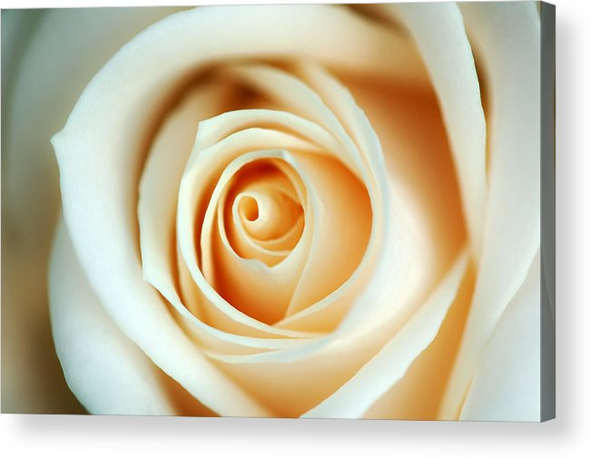 Creme Acrylic Print featuring the photograph Creme Rose by Mandy Wiltse