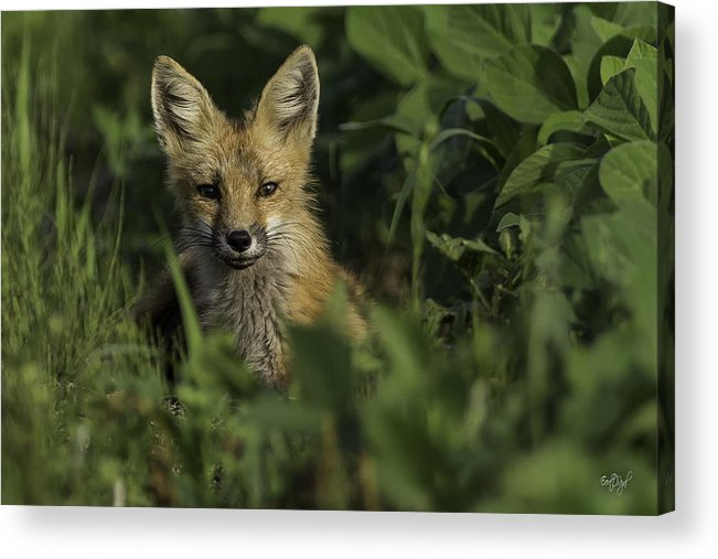 Red Fox Acrylic Print featuring the photograph Curiosity by Everet Regal