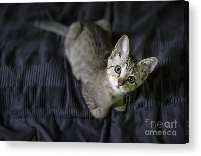 Adorable Acrylic Print featuring the photograph Curious Kitten by John Greim