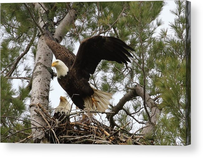 Eagles Acrylic Print featuring the photograph Dad Leaving The Nest by Debbie Storie