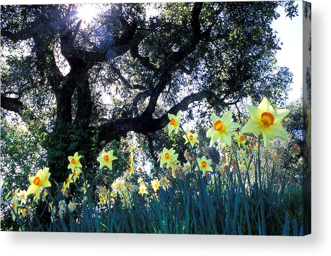 Flowers Acrylic Print featuring the photograph Daffodils And The Oak by Kathy Yates