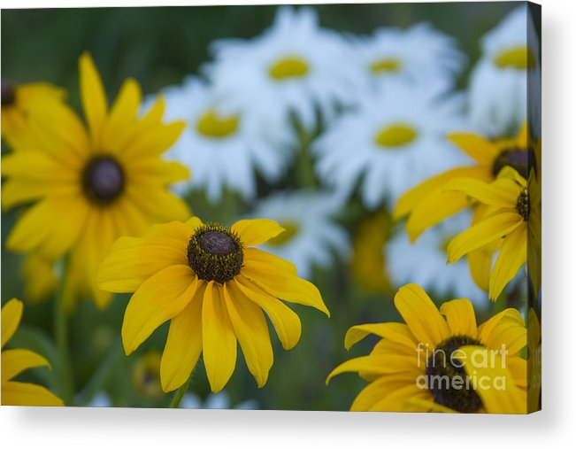 Daisy Acrylic Print featuring the photograph Daisies by Idaho Scenic Images Linda Lantzy