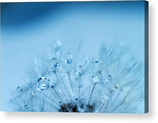 Water Acrylic Print featuring the photograph Dandelion Bouquet by Rebecca Cozart