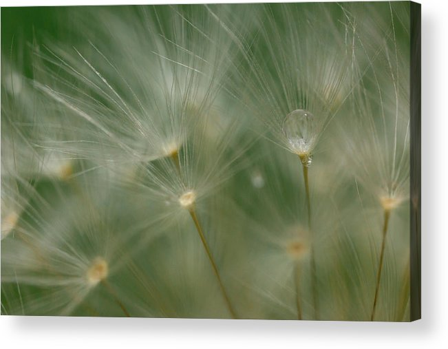 Red-seeded Dandelion Taraxacum Erythrospermum Weed Plant Fuzzy Outside Outdoors Macro Close-up Close Up Closeup Nature Natural Plant Newengland New England Ma Mass Massachusetts Brian Hale Brianhalephoto Botany Water Drop Droplets Droplet Drip Dew Spray Waterdrop Acrylic Print featuring the photograph Dandelion Dew Two by Brian Hale