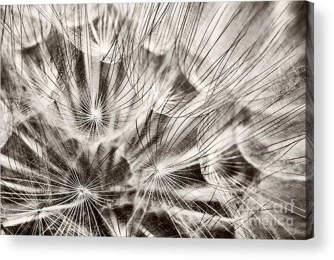 Dandelion Acrylic Print featuring the photograph Dandelion by Gabriela Insuratelu