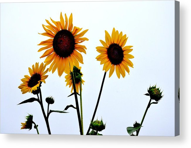 Flowers Pink Yellow Red Blue Green Orange Purple White Sunflowers Daisy Tulips Roses Orchids Lillys Spring Summer Fall Marigolds  Acrylic Print featuring the photograph Dark Center by Russell Bonovitch