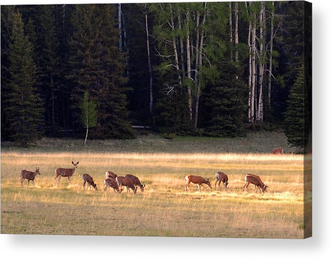 Deer Acrylic Print featuring the photograph Deer At Kaibab Meadows by Neil Doren