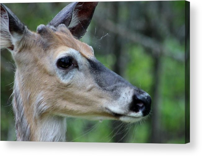 Deer Close-up Animals Wildlife Acrylic Print featuring the photograph Deer Up Close by Sue Law