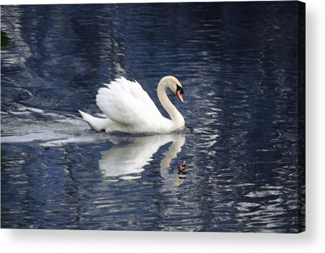 Swan Acrylic Print featuring the photograph Digital Watercolor by Nicholas J Mast