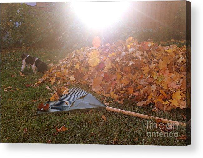 Raking Acrylic Print featuring the photograph Dog And Autumn Leaves by Samiksa Art