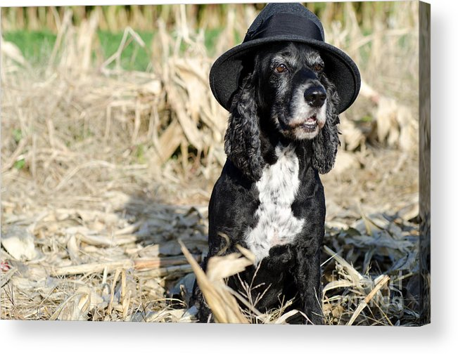 Dog Acrylic Print featuring the photograph Dog With A Hat by Mats Silvan
