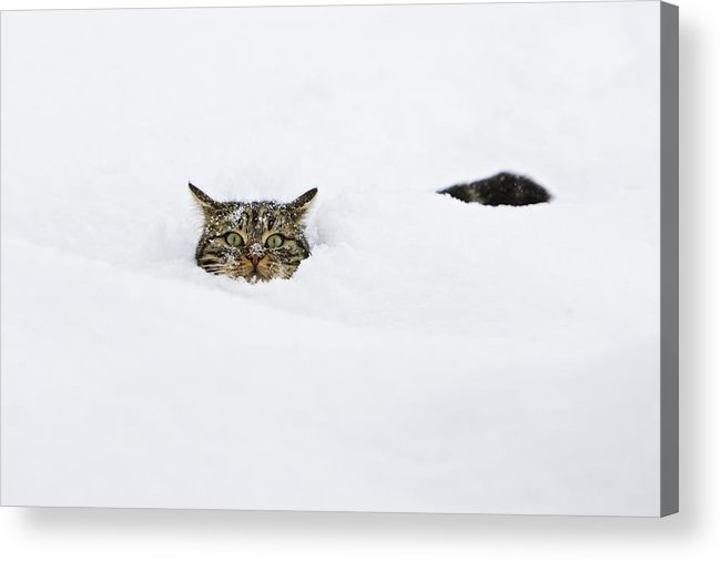 Mp Acrylic Print featuring the photograph Domestic Cat Felis Catus In Deep Snow by Konrad Wothe