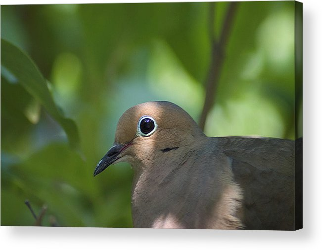 Dove Acrylic Print featuring the photograph Dove by Steve Kenney