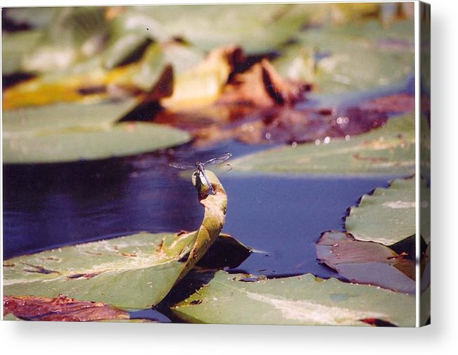 Insect Acrylic Print featuring the photograph Dragon Fly by Margaret Fortunato