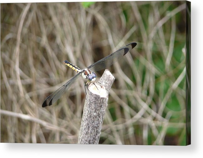 Wildlife Acrylic Print featuring the photograph Dragonfly I by Kathy Schumann