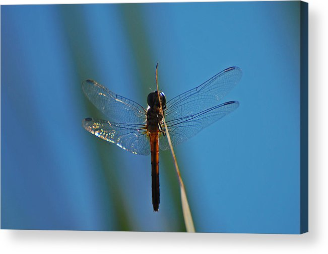 Dragonfly Acrylic Print featuring the photograph Dragonfly Portrait by Jean Booth