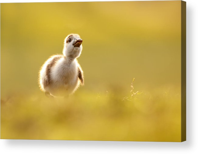 Gosling Acrylic Print featuring the photograph Dream Duckie _egyptian Gosling by Roeselien Raimond