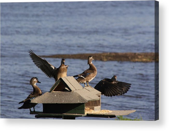 Ducks Acrylic Print featuring the photograph Duck Flyby by Jerry Patchin