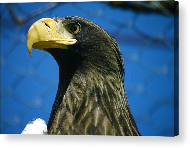 Eagle Acrylic Print featuring the photograph Eagle by Mopics Eu