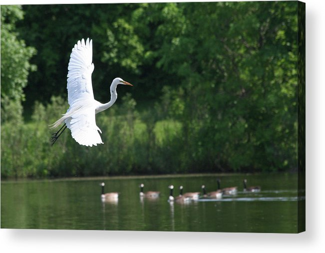 Great Egret Acrylic Print featuring the photograph Egret In Flight With Geese by Rachel Roushey