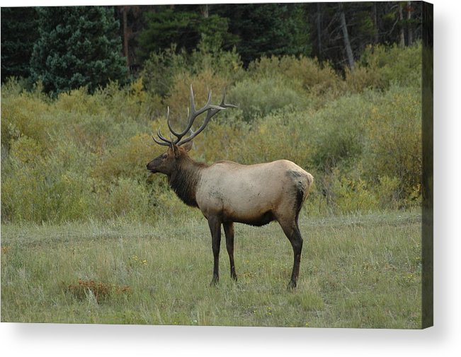 Elk Acrylic Print featuring the photograph Elk by Kathy Schumann