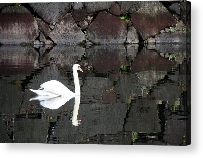 Swan Acrylic Print featuring the photograph Eternity by Mitch Cat
