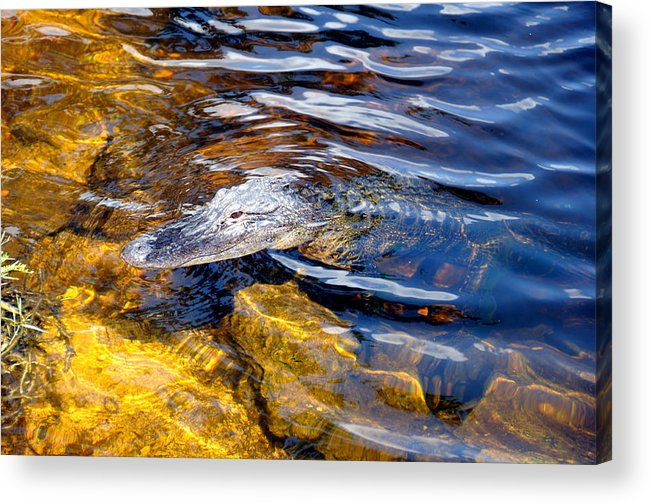 Alligator Acrylic Print featuring the photograph Everglades Alligator by Kicking Bear Productions
