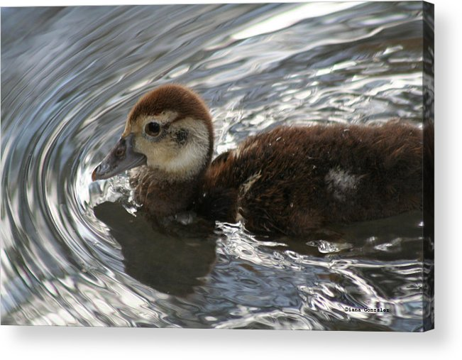 Duck Acrylic Print featuring the photograph Explorer by Diana Gonzalez