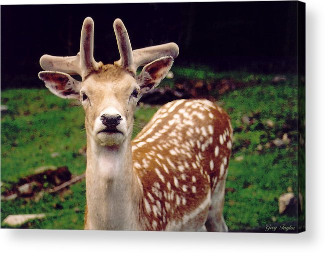 Fallow Deer Acrylic Print featuring the photograph Fallow Deer Portrait by Greg Taylor